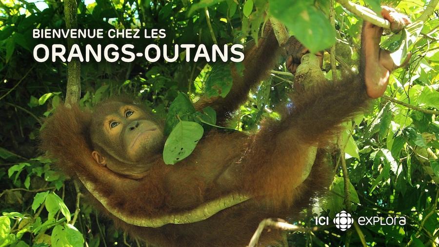 Bienvenue chez les ourangs-outangs